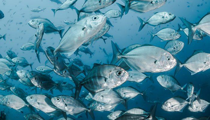 Mais peixe, mais longevidade